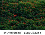 scarlet ibis  eudocimus ruber ...   Shutterstock . vector #1189083355