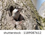willow tit  poecile montanus ... | Shutterstock . vector #1189087612