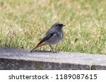 black redstart  male  sitting... | Shutterstock . vector #1189087615