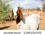 in the foreground  a goat in... | Shutterstock . vector #1189105195