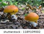 two young specimen of amanita... | Shutterstock . vector #1189109002