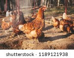 Chickens And Roosters On The...