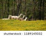 lazy llama campground  chuckey  ... | Shutterstock . vector #1189145032