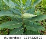 Milkweed With Seed Pod