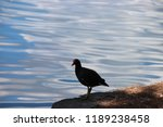 common gallinule or common... | Shutterstock . vector #1189238458