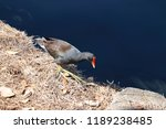 common gallinule or common... | Shutterstock . vector #1189238485