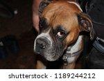 Dog  Boxer  Brown  Sad Eyes