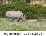 a white rhinoceros ... | Shutterstock . vector #1189318825