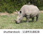 a white rhinoceros ... | Shutterstock . vector #1189318828