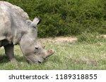 a white rhinoceros ... | Shutterstock . vector #1189318855