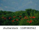 scarlet ibis  eudocimus ruber ...   Shutterstock . vector #1189383562