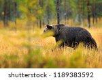 bear hidden in orange red...   Shutterstock . vector #1189383592