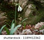 galanthus nivalis crocus white... | Shutterstock . vector #1189412362