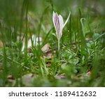 crocus heuffelianus white... | Shutterstock . vector #1189412632