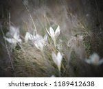 crocus heuffelianus white... | Shutterstock . vector #1189412638