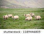 a flock of sheep grazing in a...   Shutterstock . vector #1189446805