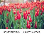 istanbul red tulips | Shutterstock . vector #1189473925