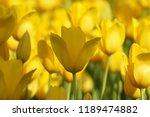 zoom yellow tulips | Shutterstock . vector #1189474882