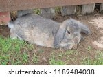 rabbit female in thailand. | Shutterstock . vector #1189484038