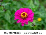 close up of zinnia flower ... | Shutterstock . vector #1189630582
