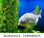 ordinary piranhas are a species ... | Shutterstock . vector #1189680625