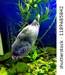 ordinary piranhas are a species ... | Shutterstock . vector #1189685842