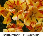 yellow flower tulip in close up ... | Shutterstock . vector #1189806385