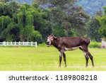 blurred photo mule is a mixed... | Shutterstock . vector #1189808218