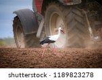 Stork Feeding On Plowed Field...