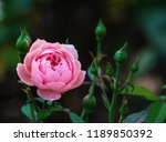 pink roses on the bush  macro ... | Shutterstock . vector #1189850392