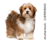 Stock photo cute red parti colored havanese puppy dog is standing and looking at camera isolated on white 1189858042