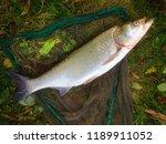 the asp fish   aspius aspius.... | Shutterstock . vector #1189911052