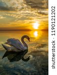 White Swan Sunset Water Scene....