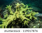 Small photo of Large Acropora yongei coral colony, Bali, Indonesia
