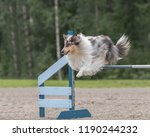 Rough Collie Jumps Over An...