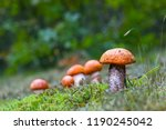 many leccinum mushrooms growing ... | Shutterstock . vector #1190245042
