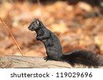 Gray Squirrel  Sciurus...