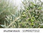 olive trees in fog morning.... | Shutterstock . vector #1190327212