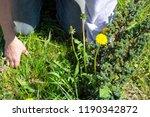 works in the garden. weeding... | Shutterstock . vector #1190342872