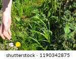 works in the garden. weeding... | Shutterstock . vector #1190342875