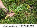 works in the garden. weeding... | Shutterstock . vector #1190342878
