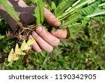 works in the garden. weeding... | Shutterstock . vector #1190342905