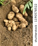 potatoes freshly harvested and... | Shutterstock . vector #1190578522