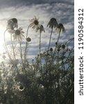 wild german chamomile blooming... | Shutterstock . vector #1190584312