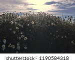 wild german chamomile blooming... | Shutterstock . vector #1190584318
