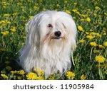 Uncommon Breed Of Dog Coton De...