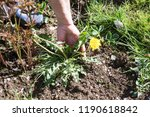 female hands pull out weeds... | Shutterstock . vector #1190618842