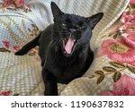 black bombay cat yawning on... | Shutterstock . vector #1190637832