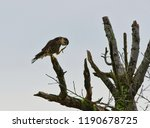 Small photo of a merlin scratching