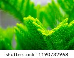 closeup pine tree leaf... | Shutterstock . vector #1190732968